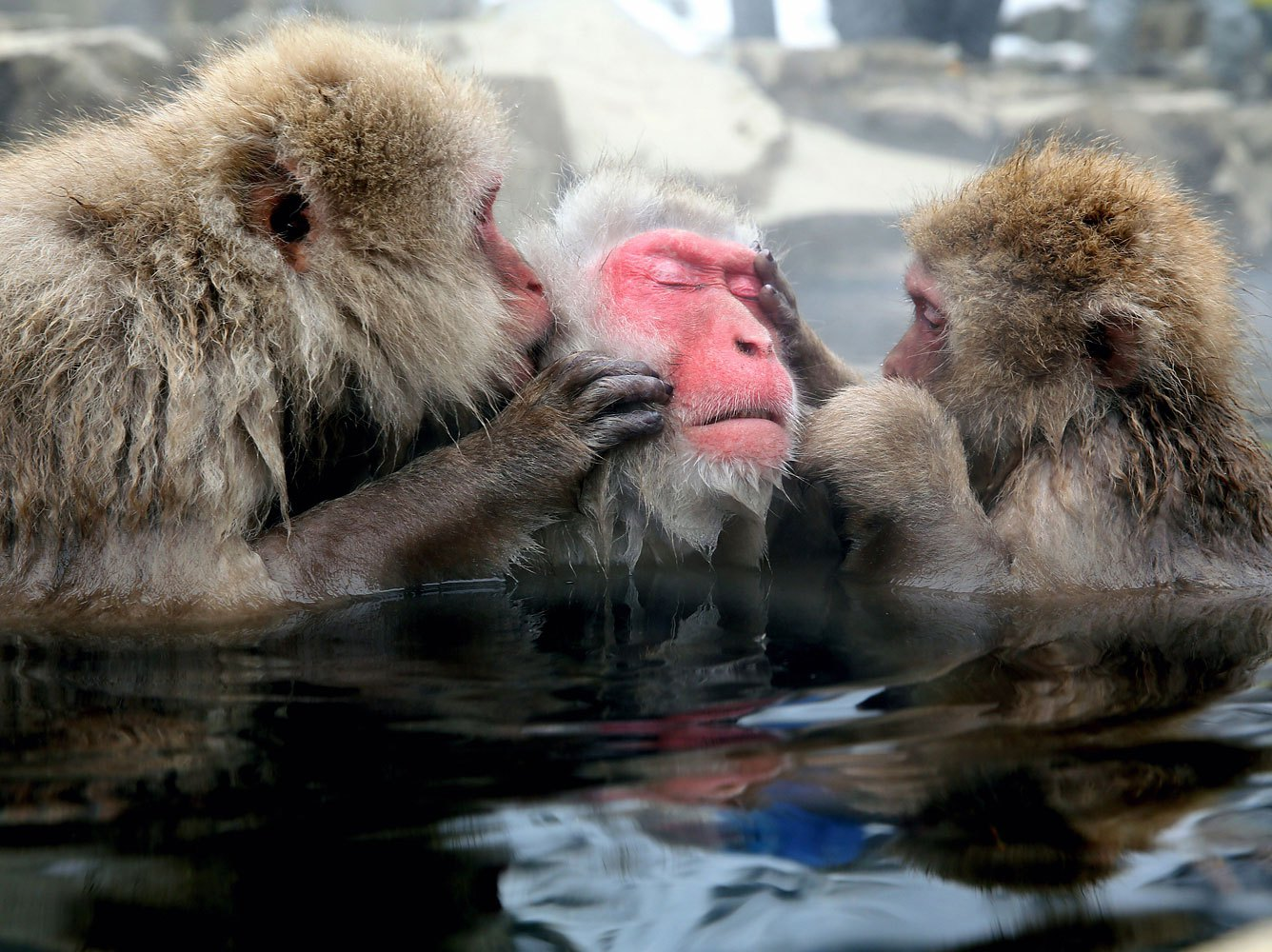 Japanese Macaque monkeys groom each other and relax in a hot spring at the Jigokudani, or Hell's Valley Monkey Park on Jan. 8, 2014 in Yamanouchi, Nagano, Japan.