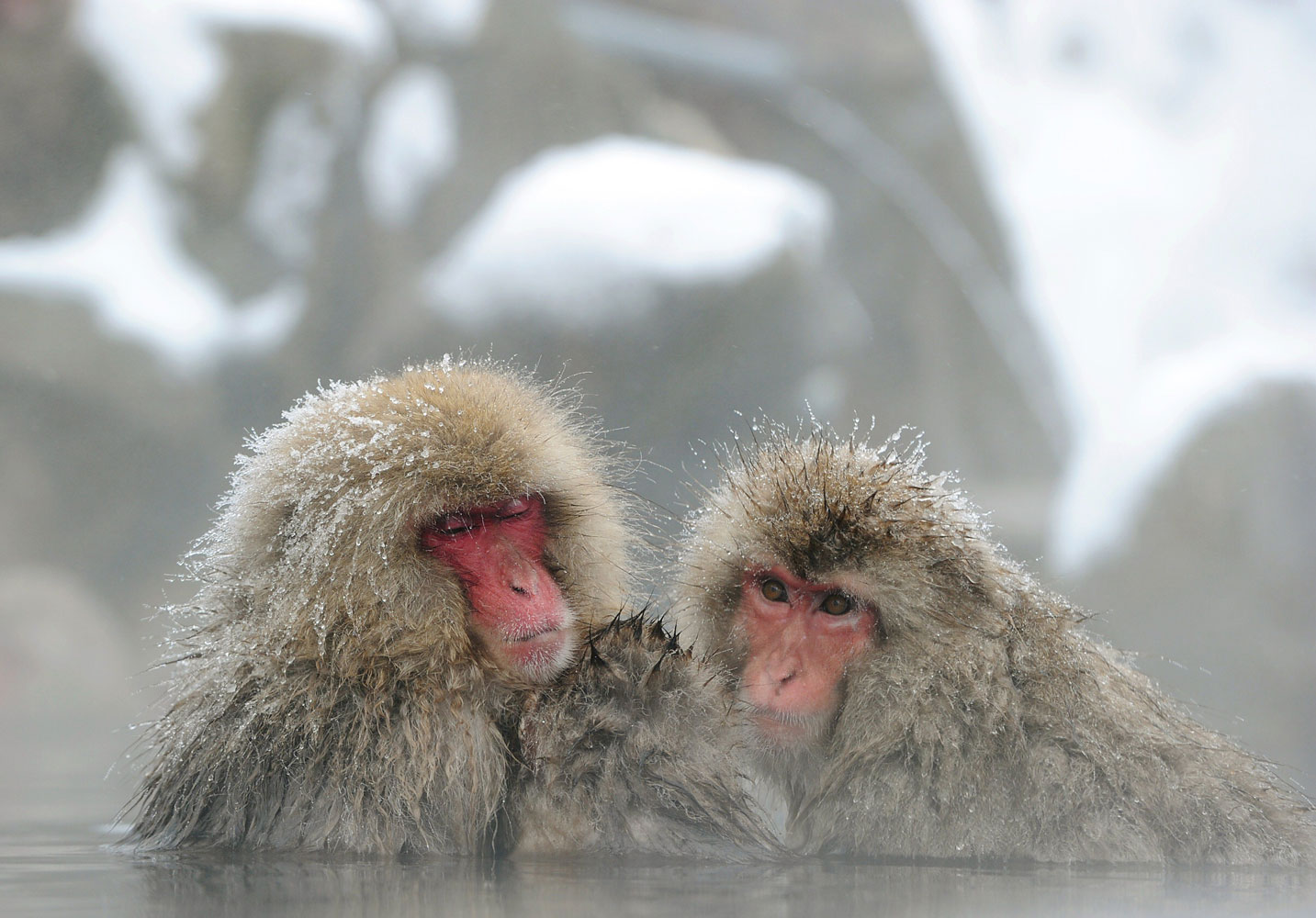 Japanese macaque monkeys, known as  snow monkeys,  take an open-air hot spring bath at the Jigokudani Monkey Park in the town of Yamanouchi, Nagano prefecture on Jan. 19, 2014.