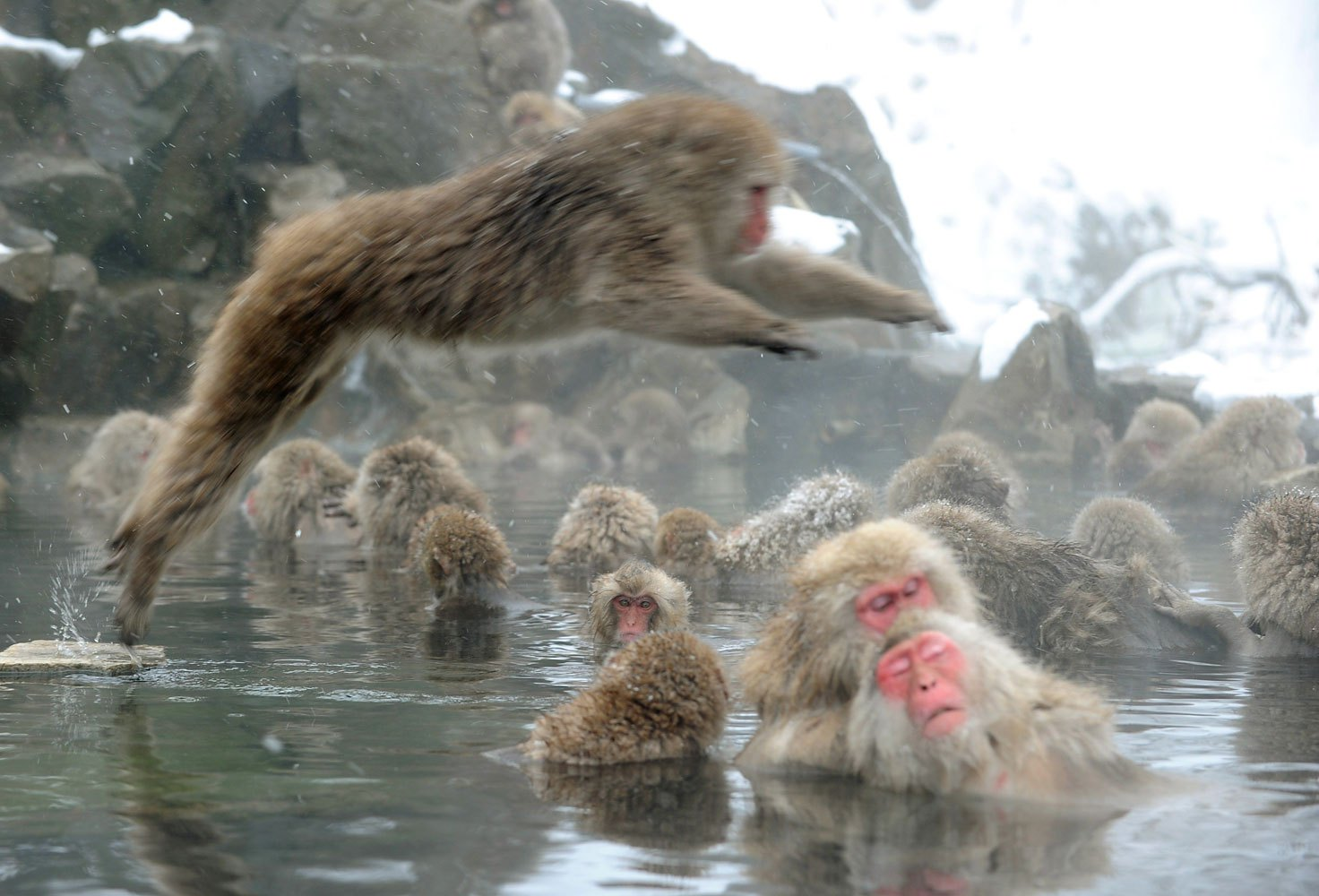 Japanese macaque monkeys, known as  snow monkeys,  take an open-air hot spring bath as snowflakes fall at the Jigokudani Monkey Park in the town of Yamanouchi, Nagano prefecture on Jan. 19, 2014.
