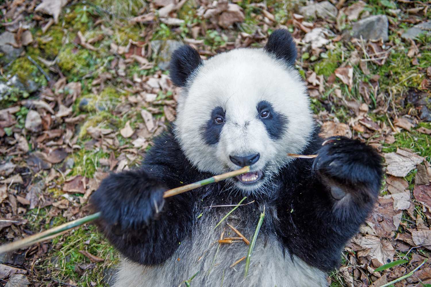 A captive born panda eats bamboo in  the  Deng Sheng Valley forest                               in Sichuan China.