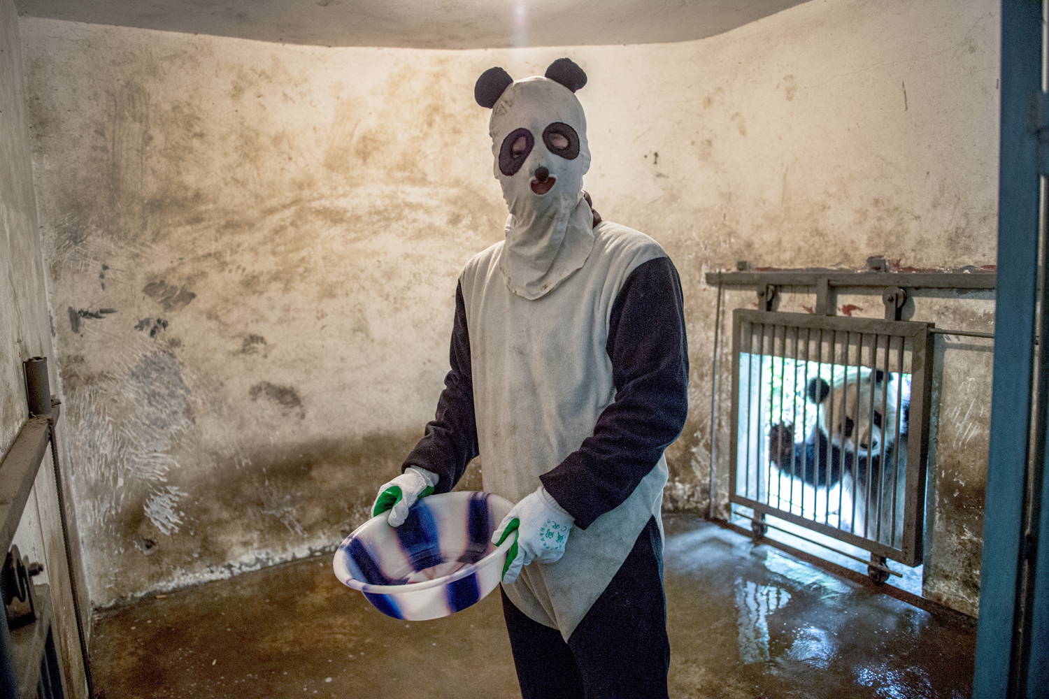 A costumed caretaker cleans a giant-panda enclosure while an inhabitant peers in.