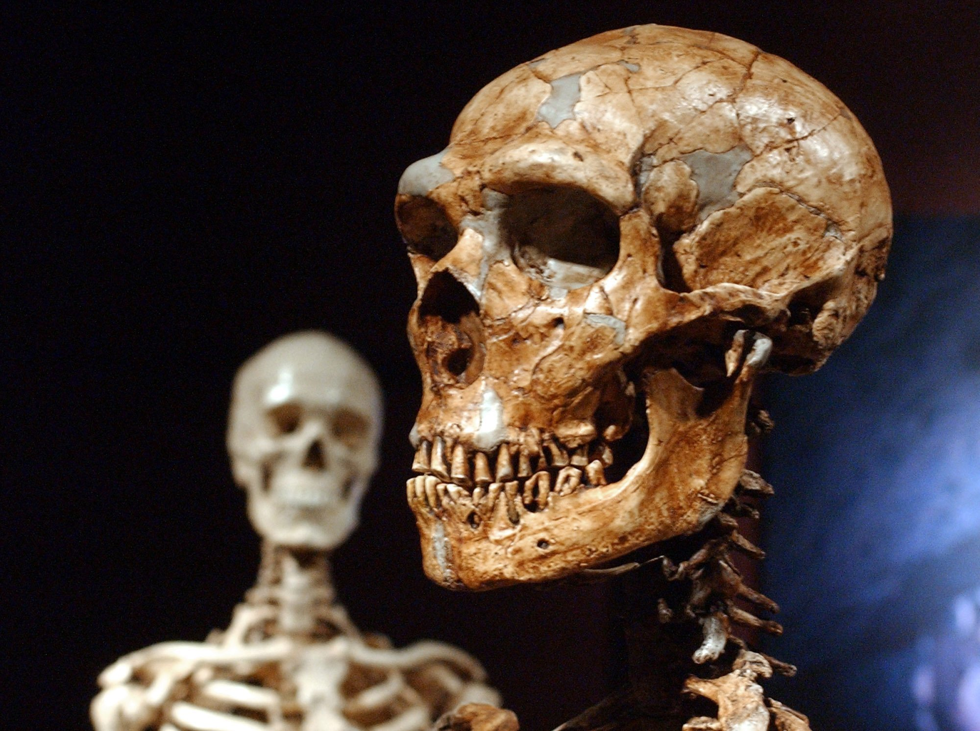 From right: A reconstructed Neanderthal skeleton and a modern human version of a skeleton, on display at the Museum of Natural History in New York City, on Jan. 8, 2003.