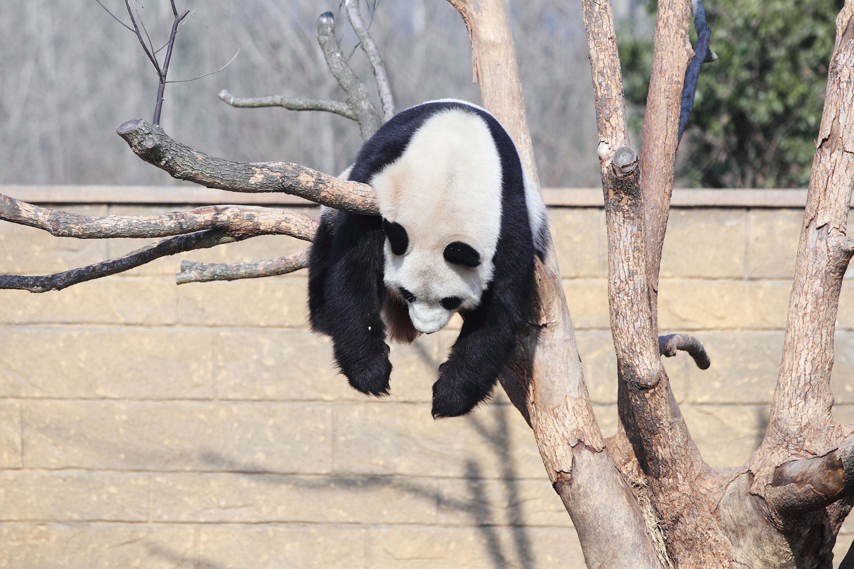 Panda Li Li plays on a tree in the sunshine in a Hangzhou zoo in east China's Zhejiang province, Jan. 1, 2014.