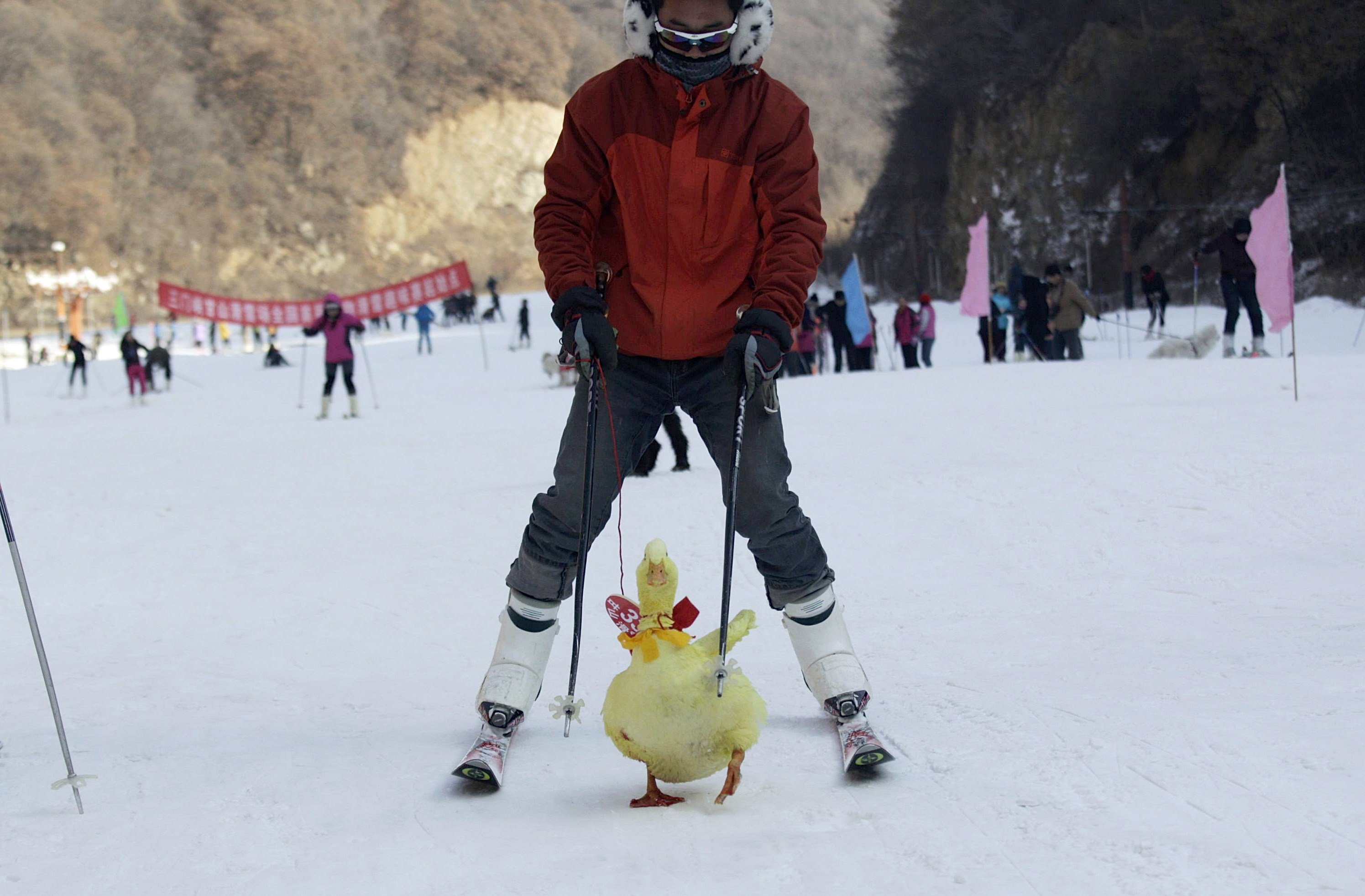 A contestant skis with his pet duck during a skiing-with-pets competition at a ski resort in Sanmenxia, Henan province, Jan. 12, 2014.