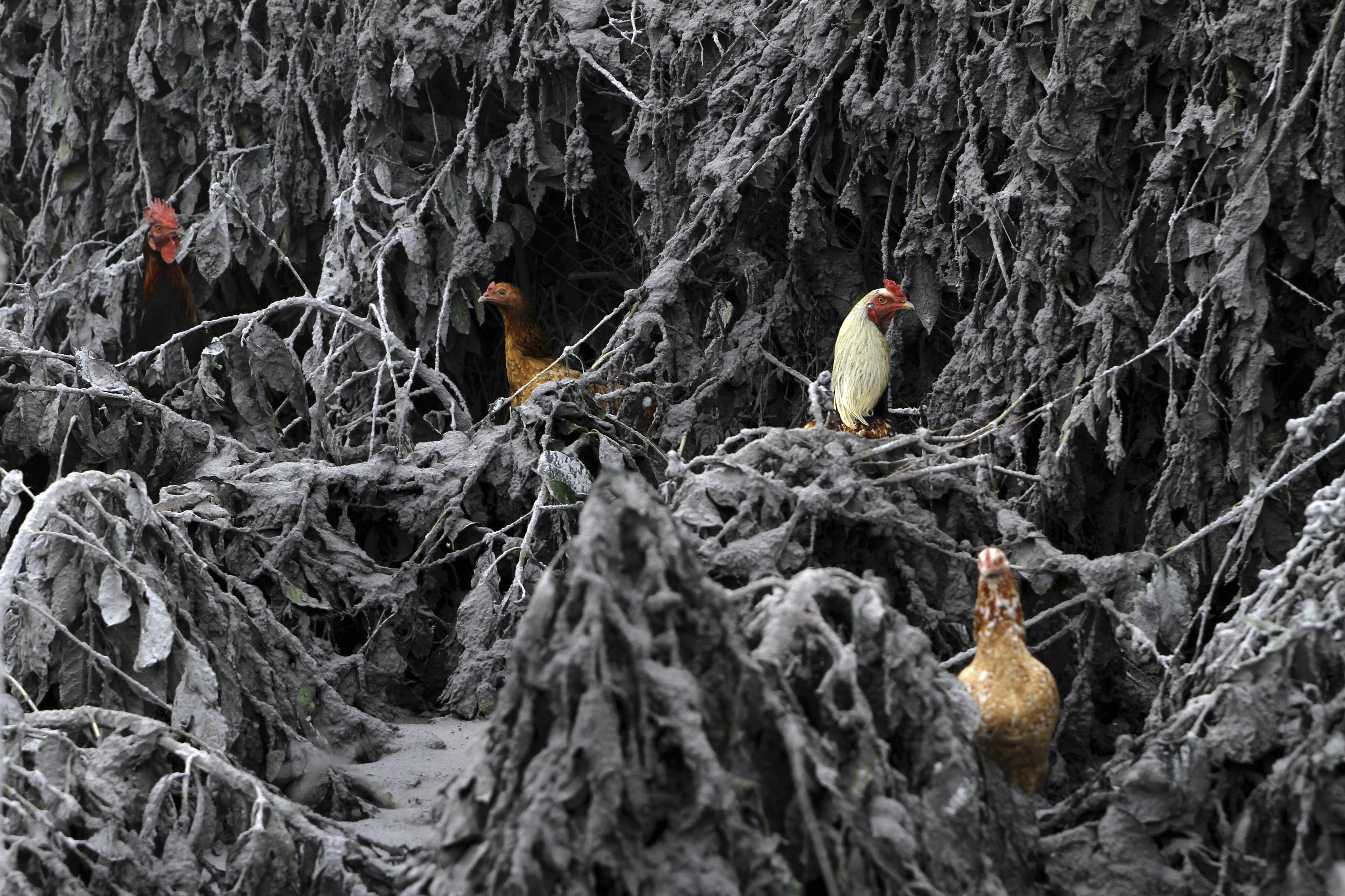 Chickens are seen in the midst of plants covered by ash from Mount Sinabung near Sigarang-Garang village in Karo district, Indonesia's North Sumatra province, Jan. 12, 2014.