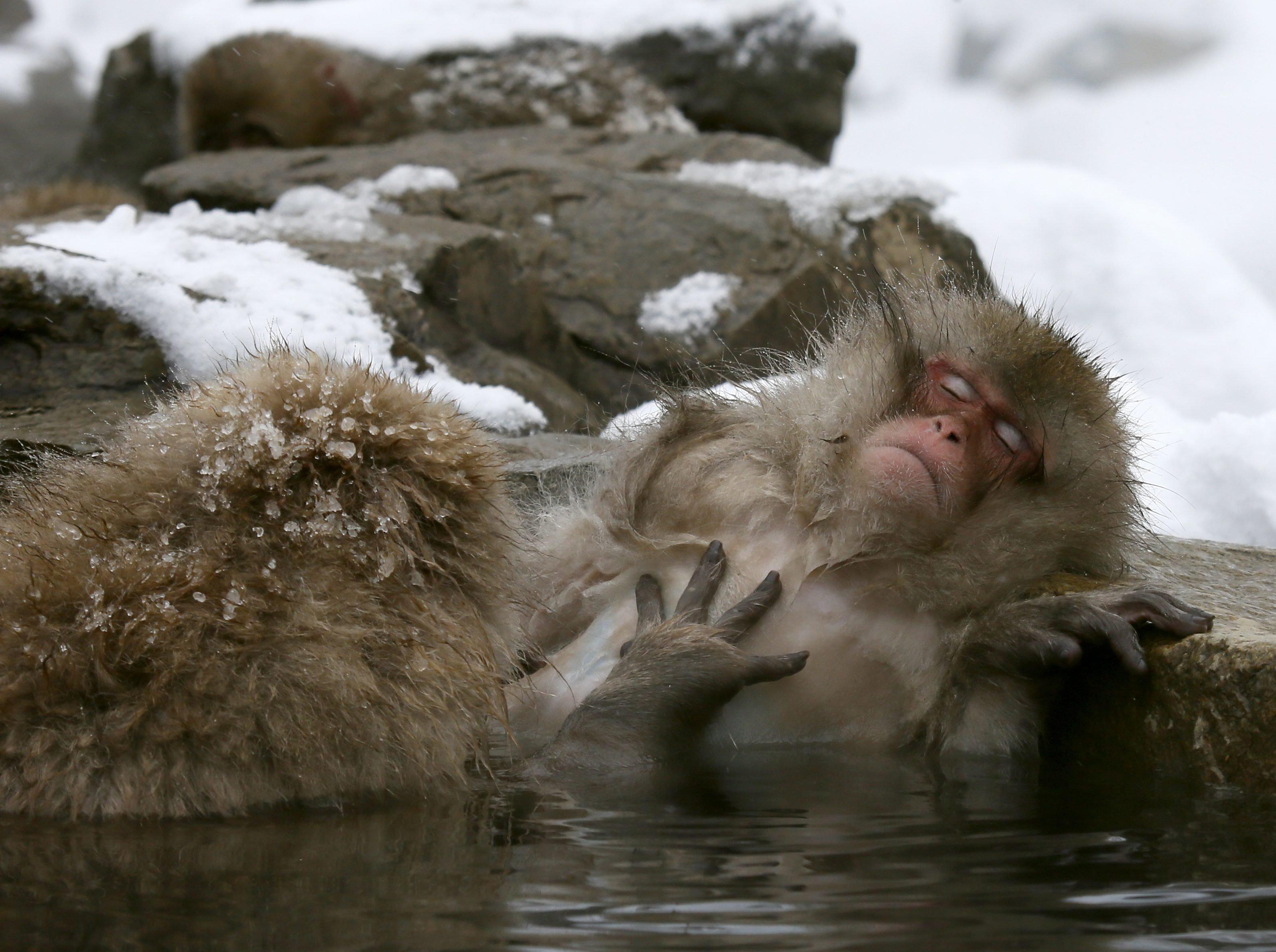 Japanese Macaque monkeys soak in the warmth of mountain hotsprings at Jigokudani Monkey Park, in Yamanouchi, central Japan, Jan. 19, 2014.