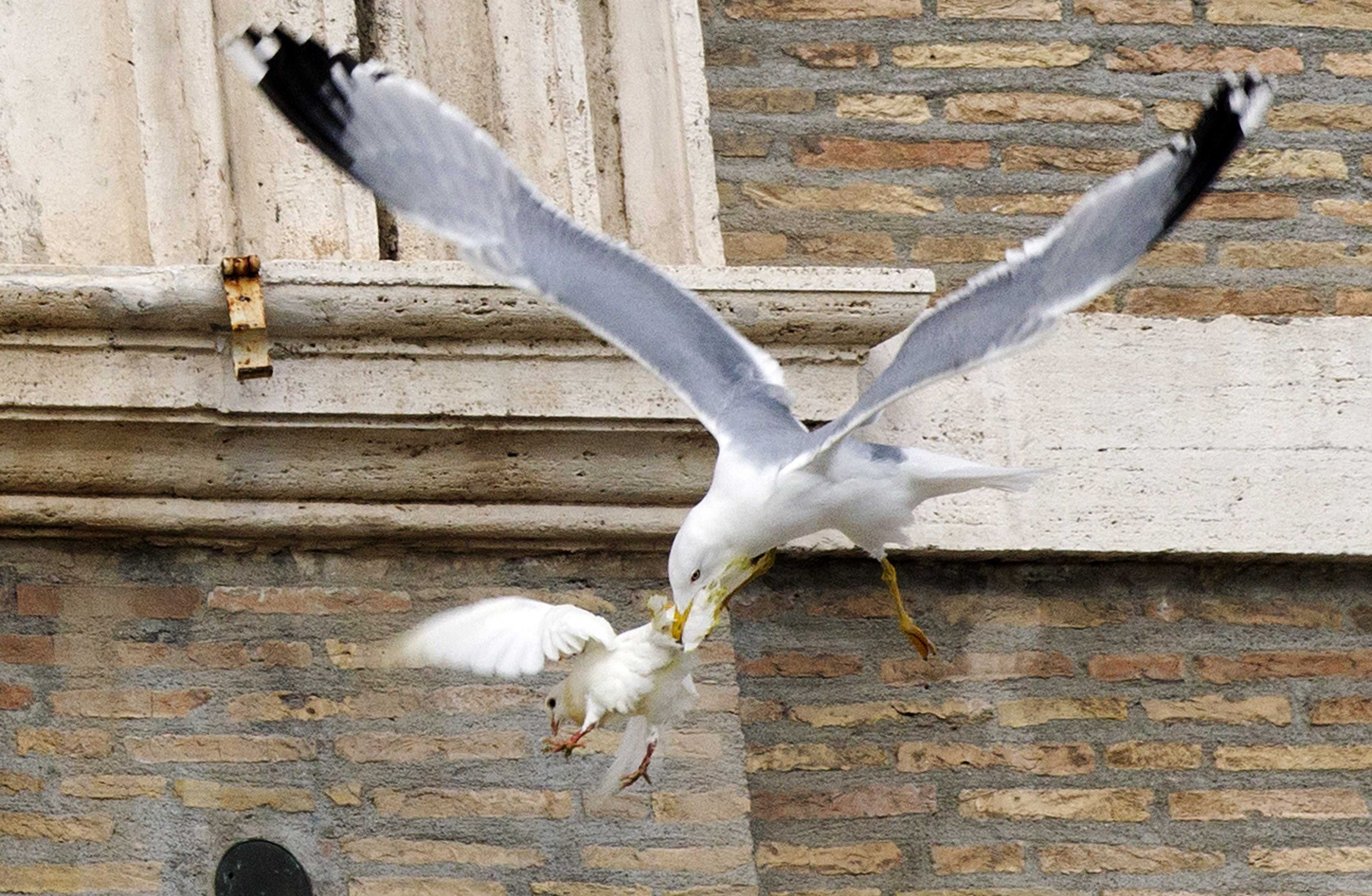 A dove released during an Angelus prayer conducted by Pope Francis is attacked by a seagull in Saint Peter's square at the Vatican, Jan. 26, 2014.