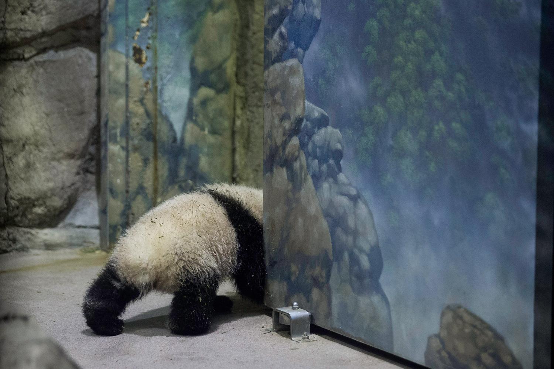 Jan. 6, 2014. Giant panda bear cub Bao Bao moves around inside the David M. Rubenstein Family Giant Panda Habitat at the Smithsonian National Zoological Park in Washington.