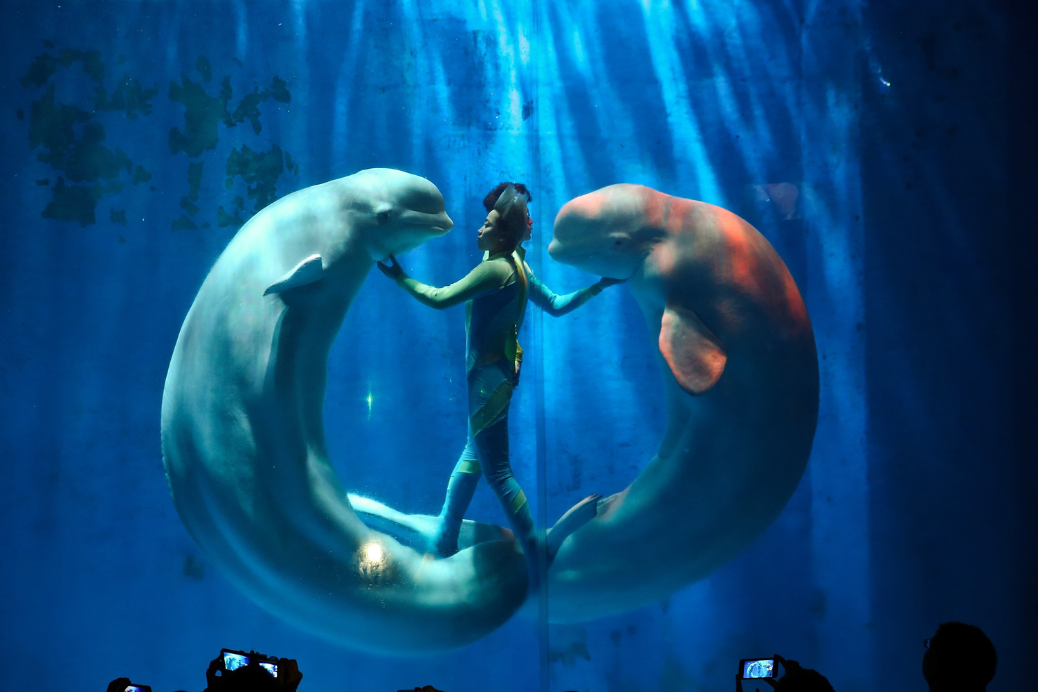 Jan. 7, 2014. White whales and their trainers present a show for visitors at Harbin Pole Aquarium in Harbin, China.