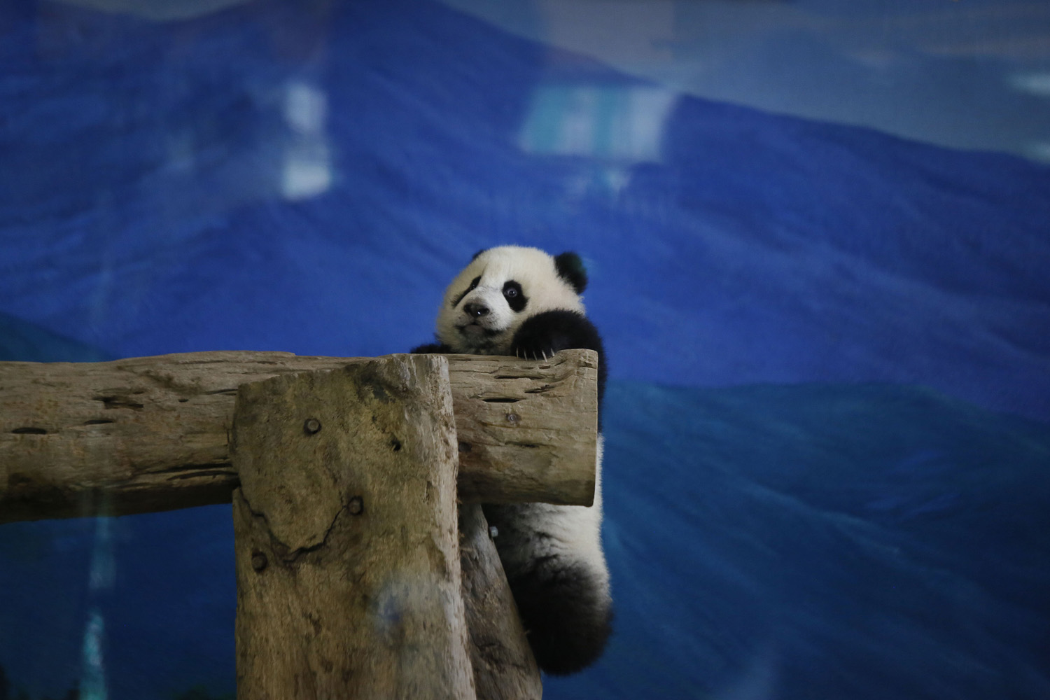 Jan. 6, 2014. Taiwan's six-month-old panda cub Yuan Zai hangs precariously from logs as she is viewed by the public for the first time at the Taipei Zoo in Taipei, Taiwan.