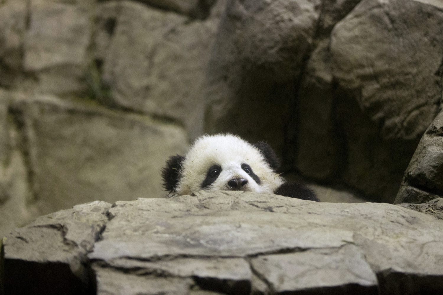 Jan. 6, 2014. Bao Bao, the four and a half month old giant panda, makes her public debut at an indoor habitat at the National Zoo in Washington.