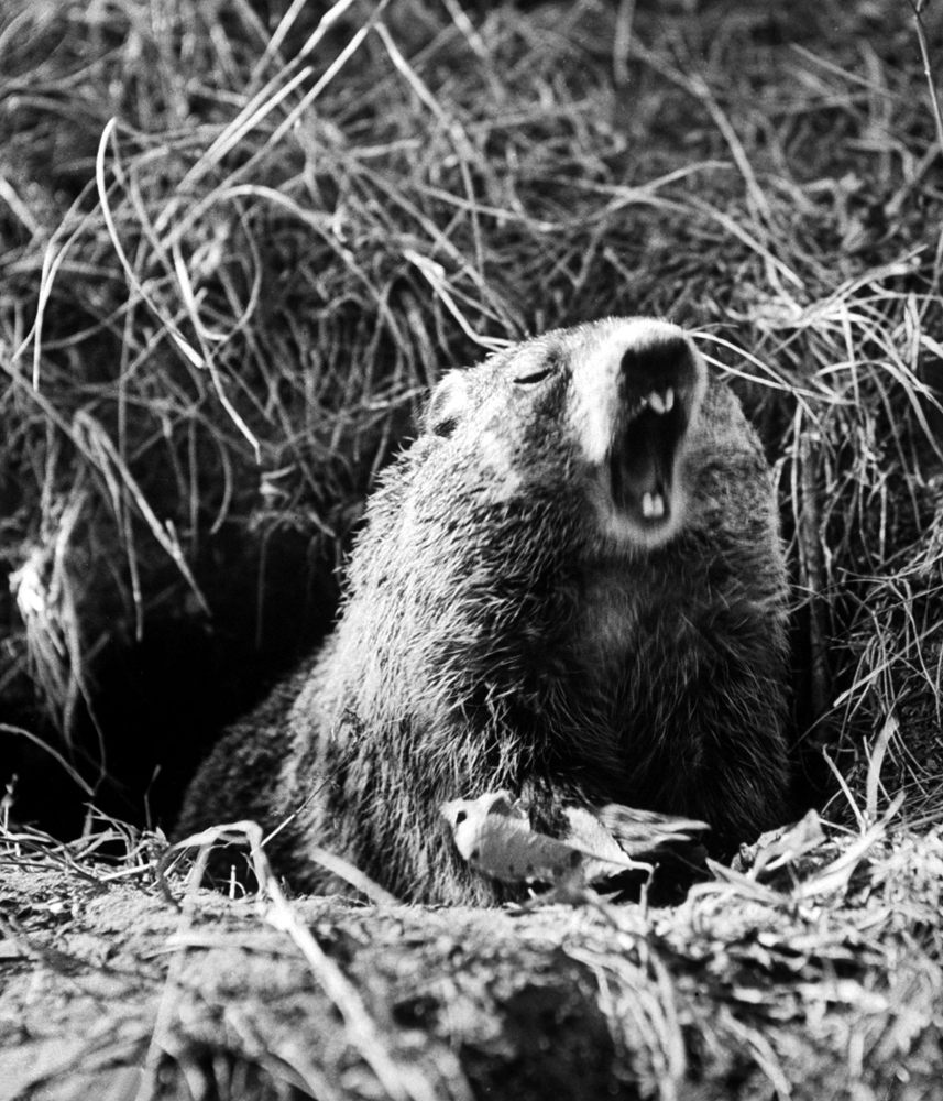 A groundhog at the entrance to its burrow.