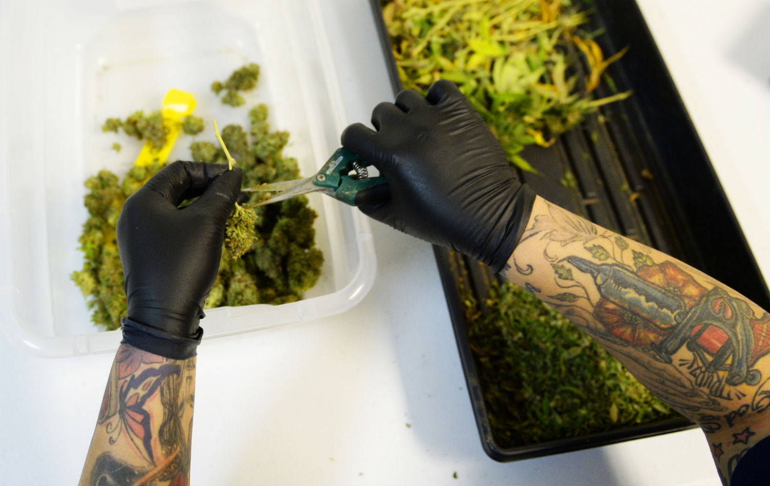 Nicole Martinez trims marijuana plants as they get ready, at 3D Cannabis Center in Denver, for the first of the year, when the shop is allowed to sale recreational marijuana.