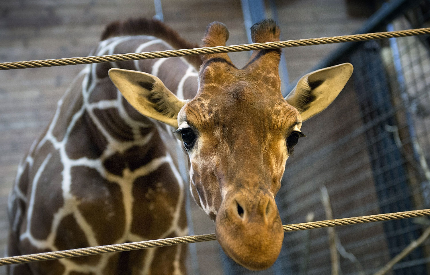 Marius the giraffe at the Copenhagen Zoo on Feb. 7, 2014, two days before he was shot dead then autopsied in the presence of the zoo's visitors, despite an online petition to save him signed by thousands of animal lovers