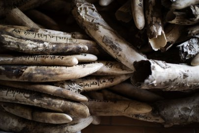 A stockpile of ivory is ready to be stored after cataloguing at the Chadian Zakouma National Park, Feb. 20, 2014 ahead of a ceremony where over a ton of ivory from Chad will be burned.