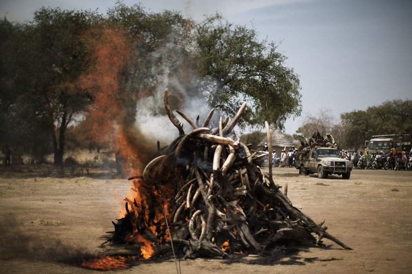 A pyre on which over a thousand kilos of elephant tusks will be incinerated burns during a ceremony marking the 50th anniversary of the Zakouma National Park, Chad's oldest natural park, in Goz Djarat, on Feb. 21, 2014.