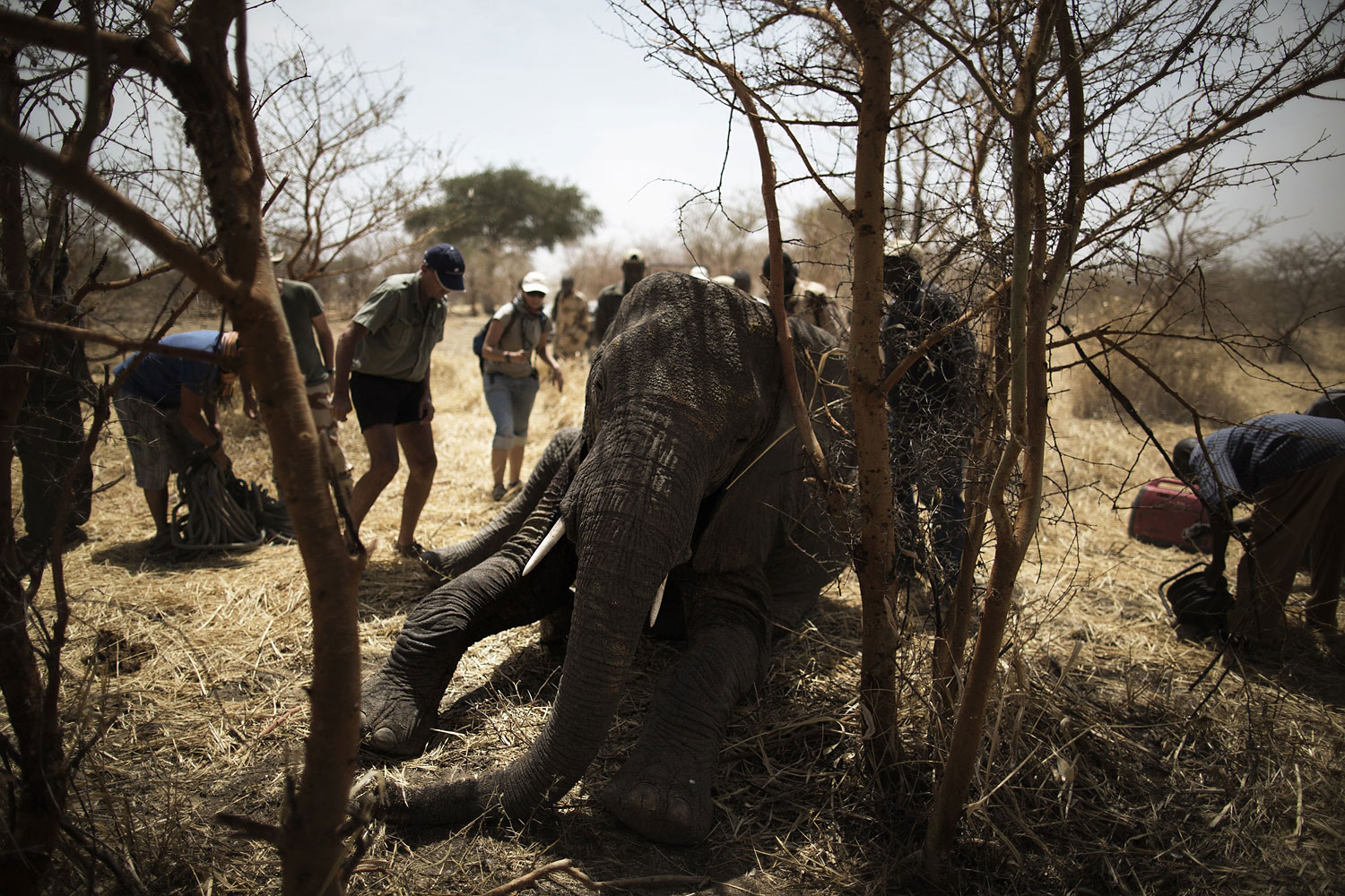 African Parks staff scramble to help an elephant who fell on a dangerous position after being darted at the Zakouma National Park on Feb. 23, 2014 during a collaring operation aimed at preserving elephants in the park.