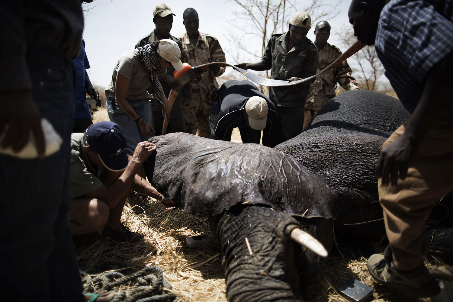 African Parks staff apply a collar to an elephant, darted at the Zakouma National Park on Feb. 23, 2014 during a collaring operation aimed at preserving elephants in the park.