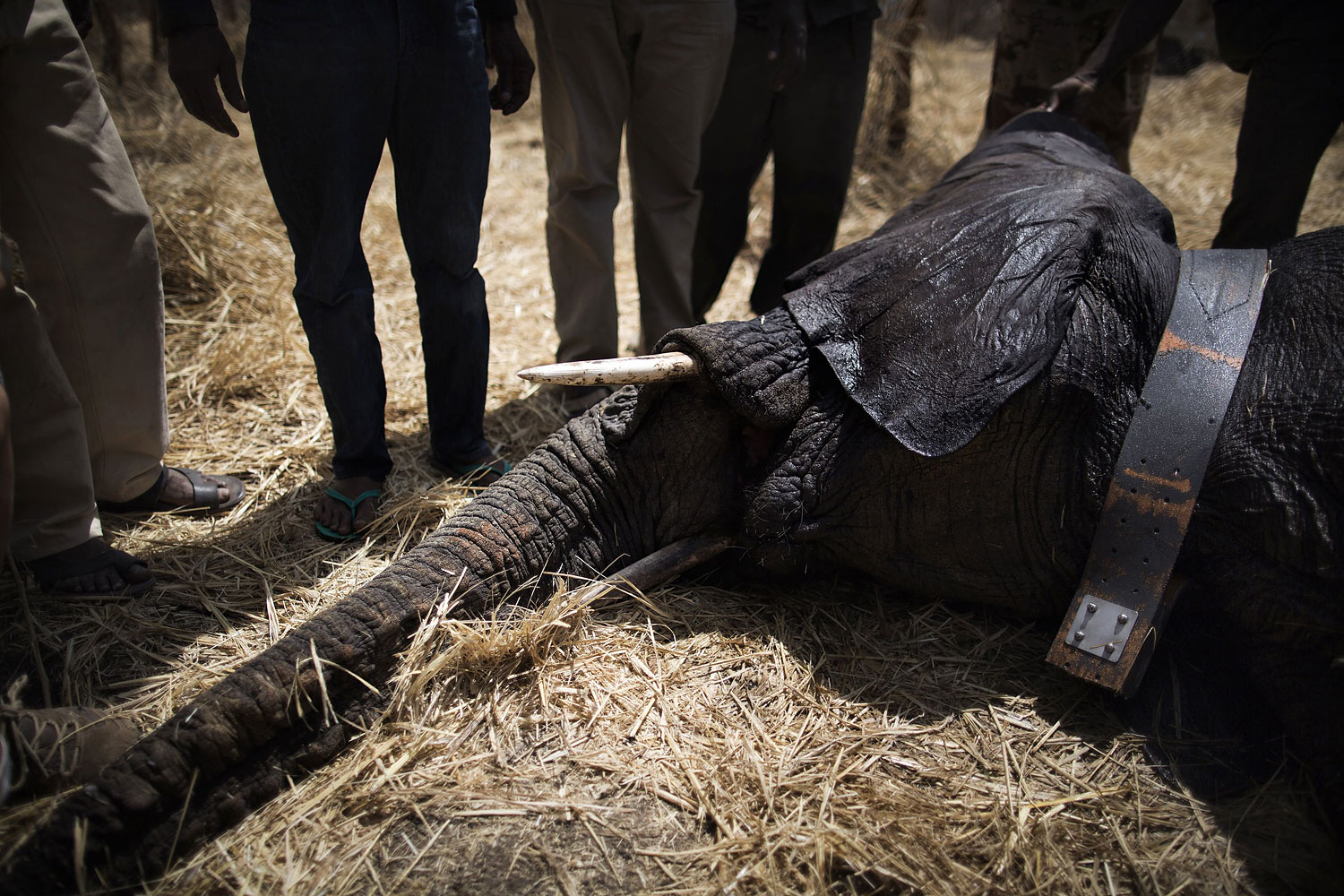 A collared elephant, darted at the Zakouma National on Park Feb. 23, 2014 rests, sedated.