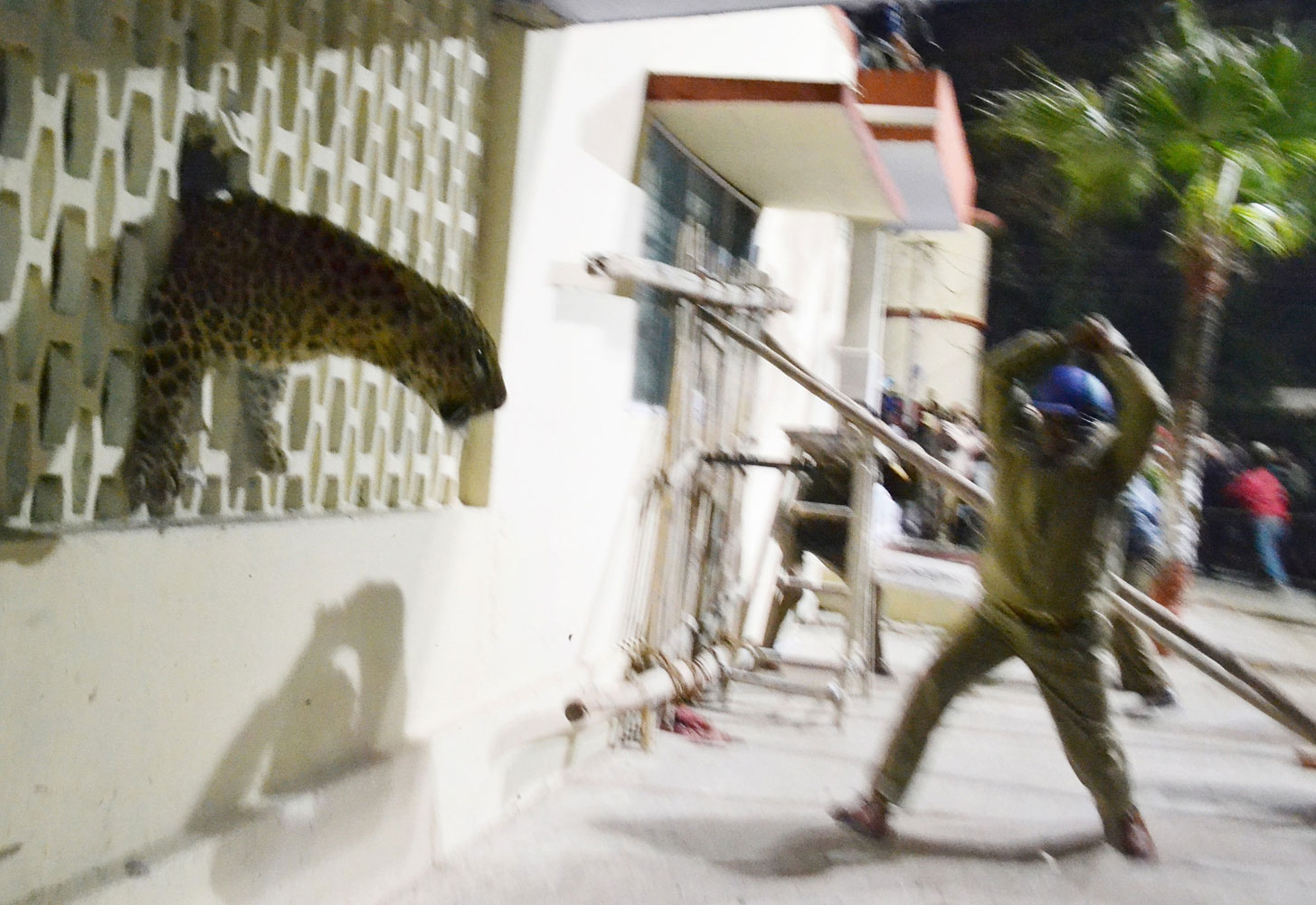 The leopard squeezes through a hole in the hospital wall. The cat is said to still be on the loose.