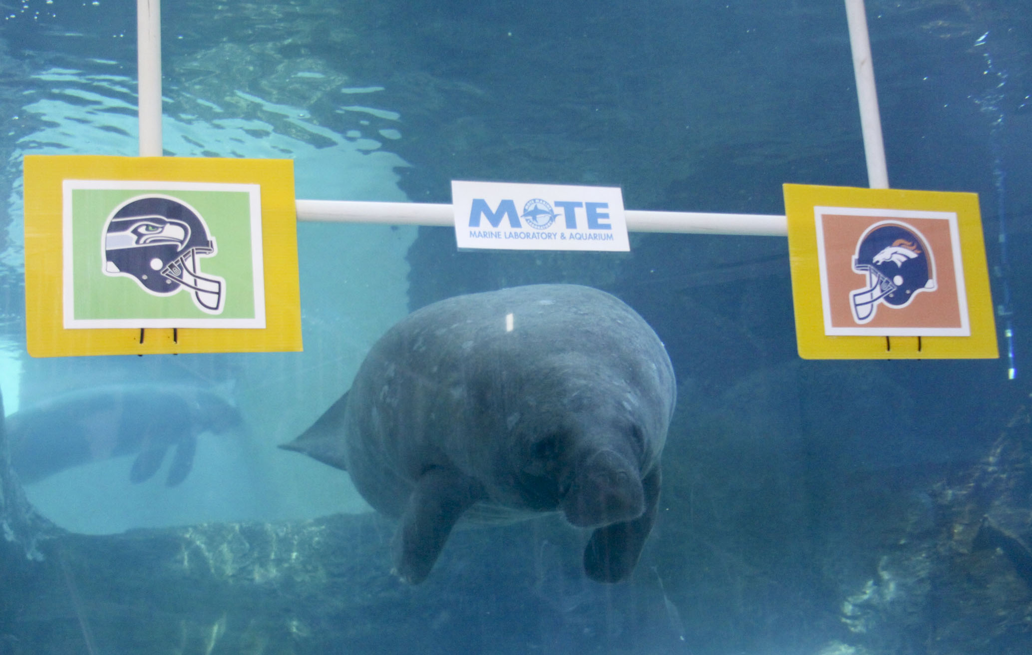 A manatee named Buffett has his money on the Broncos.