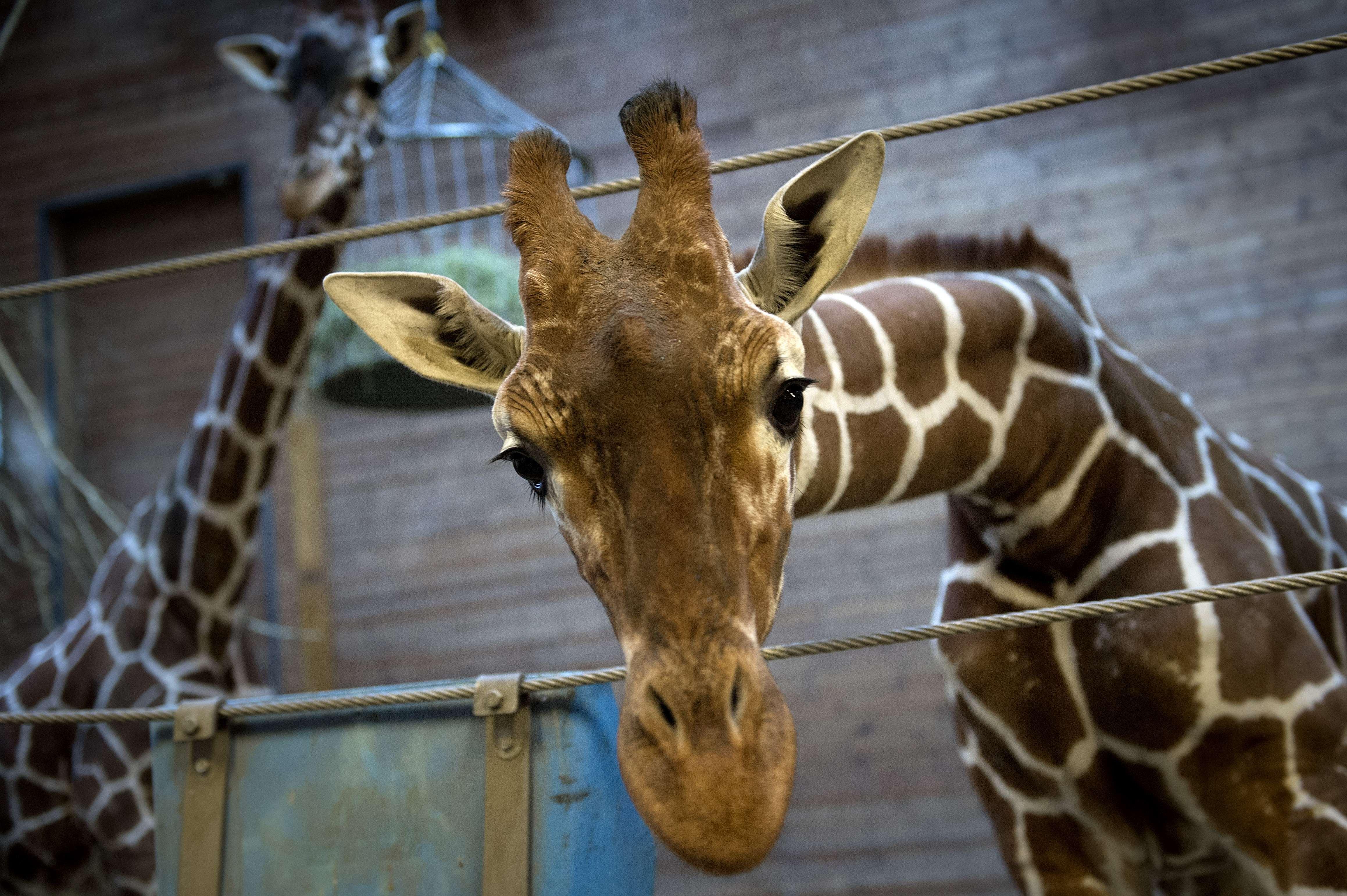 Marius the giraffe at Copenhagen zoo, on Feb. 7, 2014.