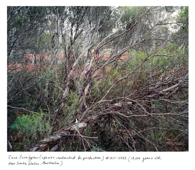 This critically endangered eucalyptus is around 13,000 years old, and one of fewer than five individuals of its kind left on the planet. The species name might hint to heavily at its location, so it has been redacted.