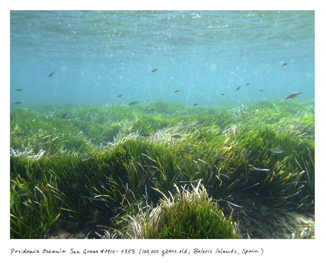 """At 100,000 years old, the Posidonia sea grass meadow was first taking root at the same time some of our earliest ancestors were creating the first known """"art studio"""" in South Africa.  It lives in the UNESCO-protected waterway between the islands of Ibiza and Formentera."""