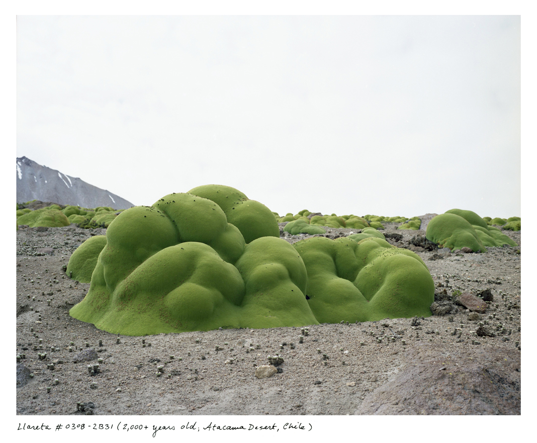 What looks like moss covering rocks is actually a very dense, flowering shrub that happens to be a relative of parsley, living in the extremely high elevations of the Atacama Desert.