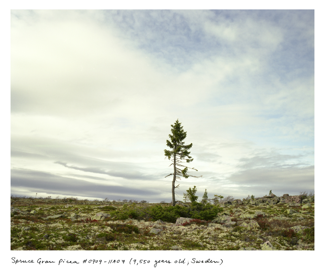 This 9,950-year-old tree is like a portrait of climate change. The mass of branches near the ground grew the same way for roughly 9,500 years, but the new, spindly trunk in the center is only 50 or so years old, caused by warming at the top of this mountain plateau in Western Sweden.