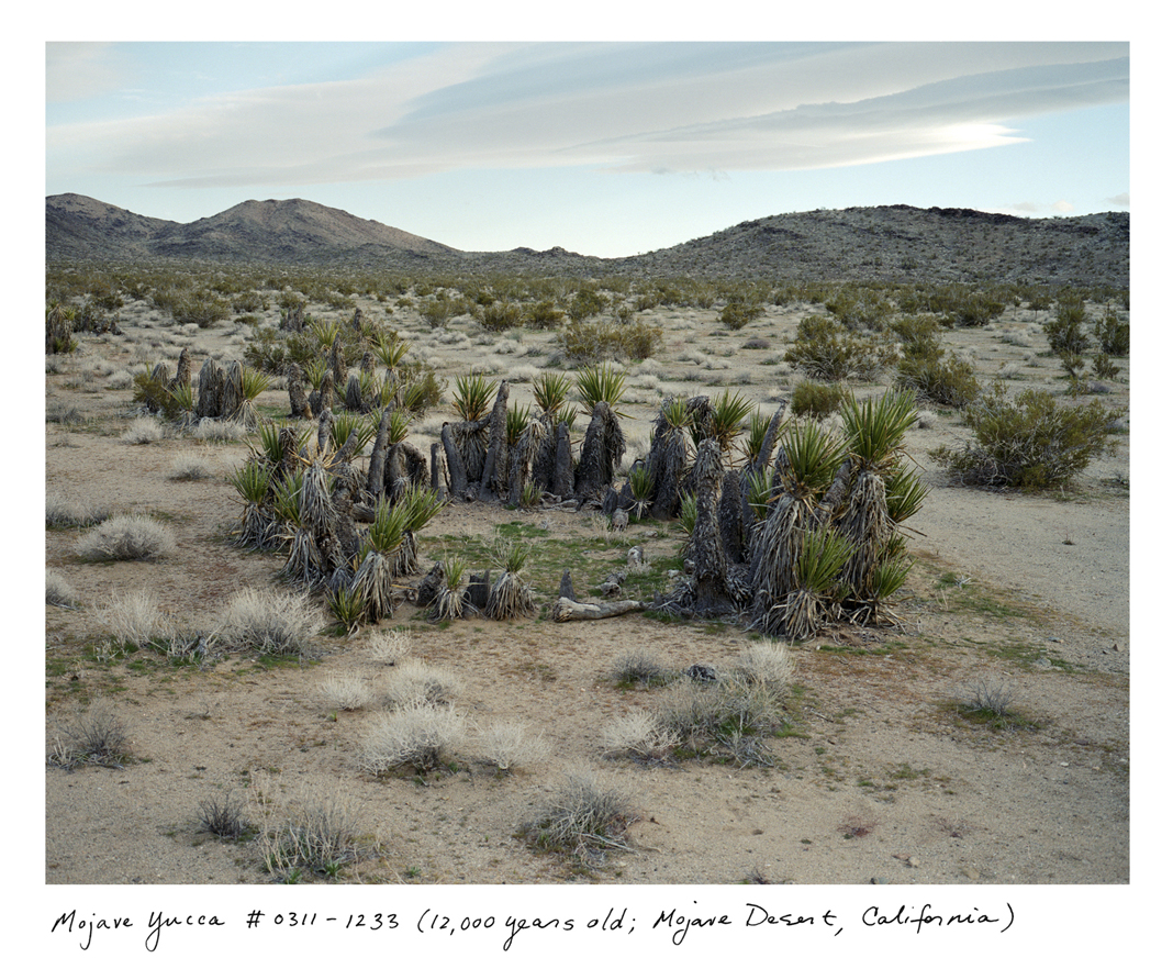 The approximately 12,000-year-old creosote bush and Mojave yucca both have remarkable circular structures, pushing slowly outward from a central originating stem.  New stems replace old ones, but they are all connected by the same clonal root structure.