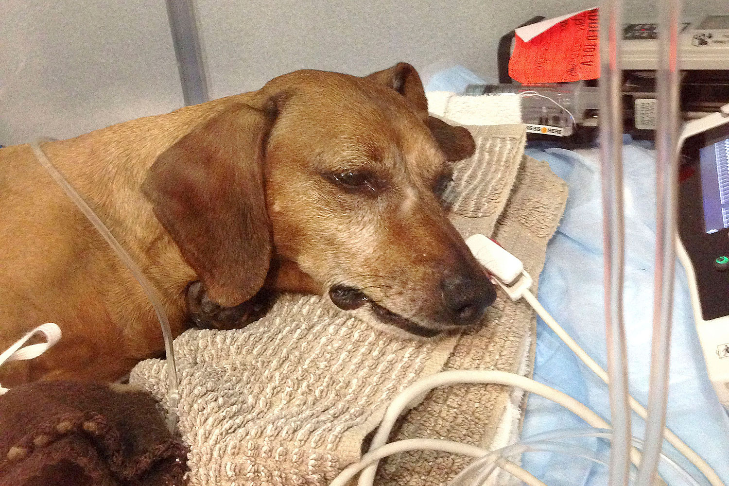 In this 2013 photo released by Animal Internal Medicine & Specialty Services, a 7-year-old dachshund named Oskar is treated in San Francisco.