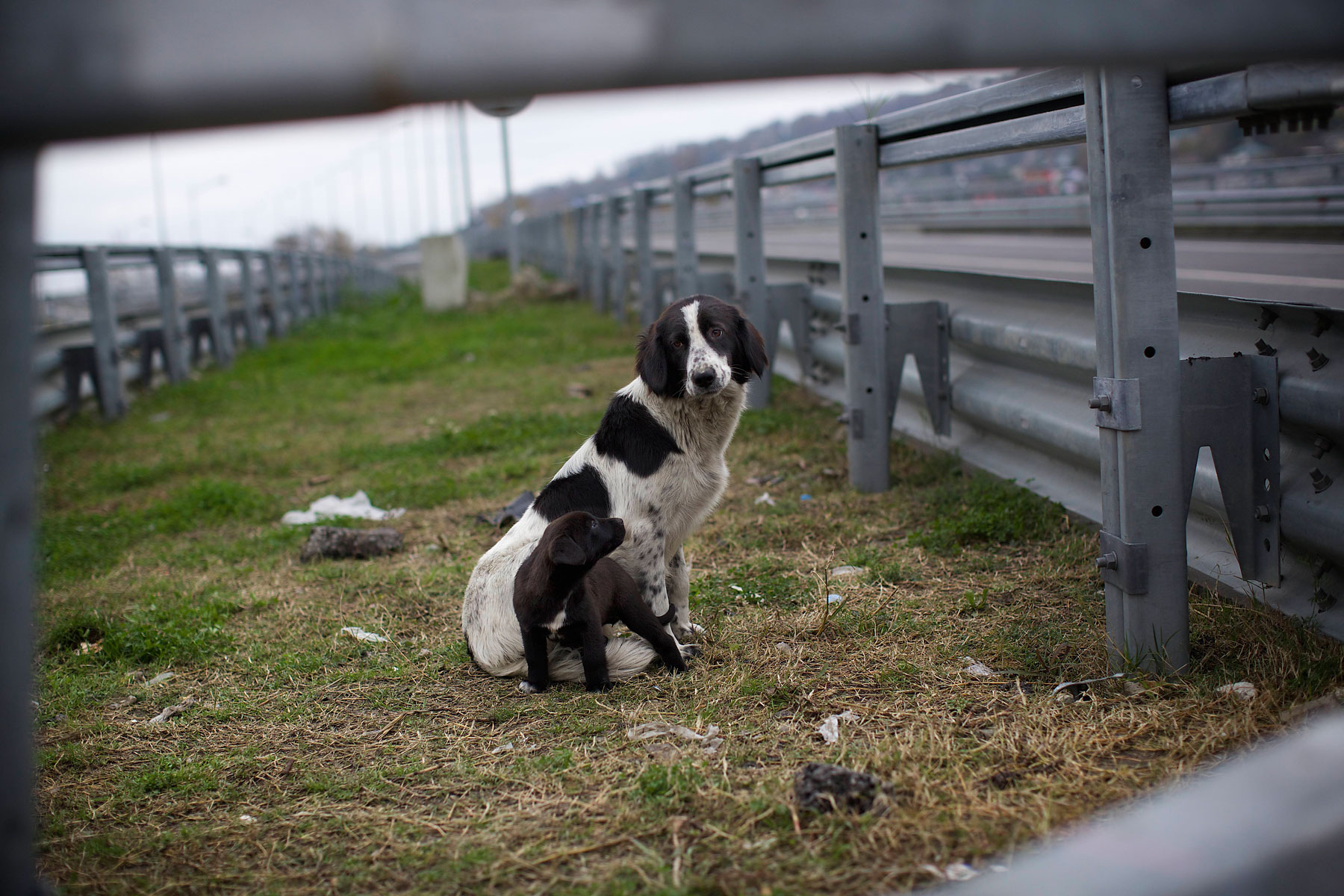 A stray dog and its puppy sit behind the railings in the middle of a highway outside Sochi, Russia, on Nov. 28, 2013