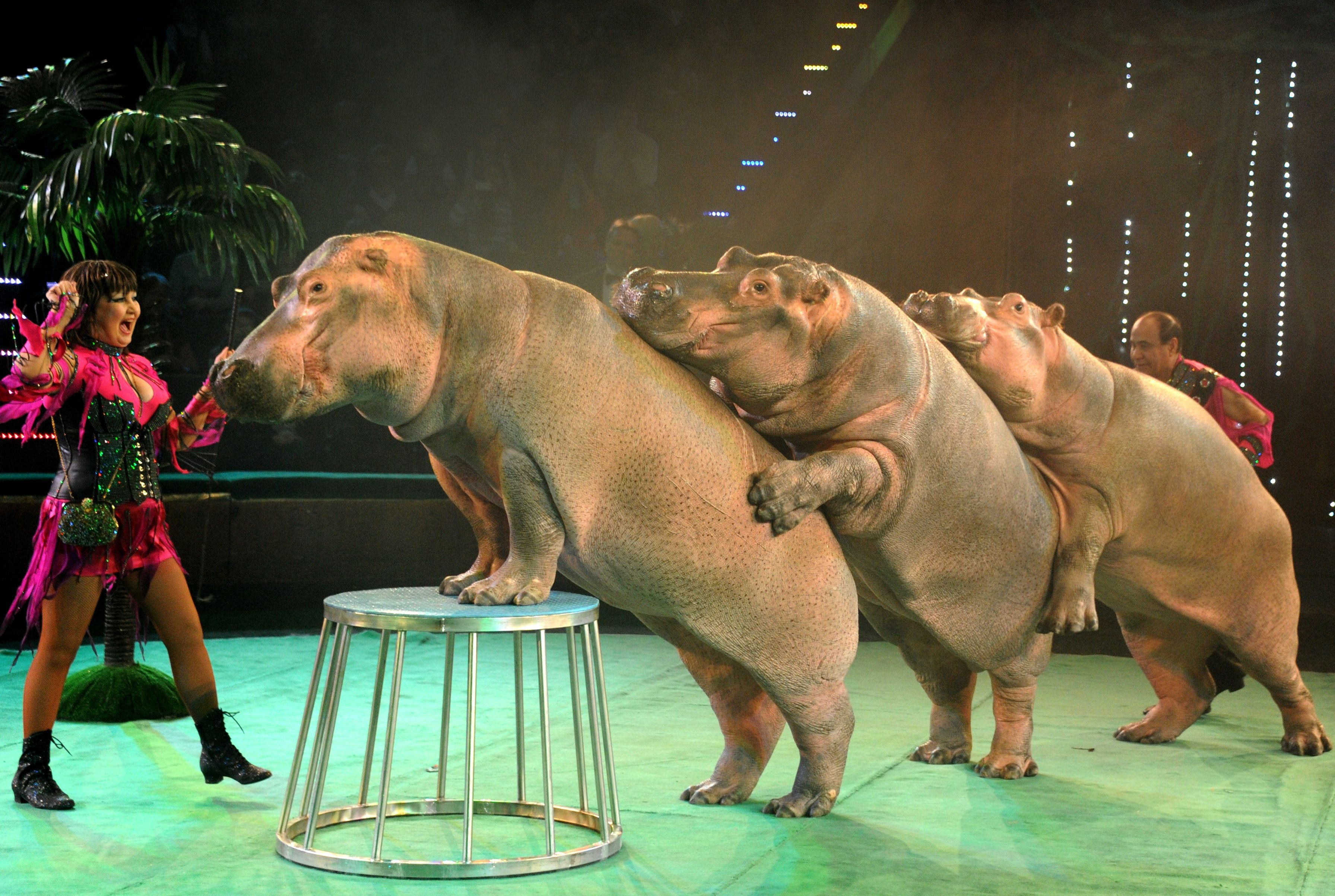 Ludmila (L) and Tofig Akhundov perform with their hippopotamuses in a circus in Minsk, Belarus , on Jan. 30, 2014.