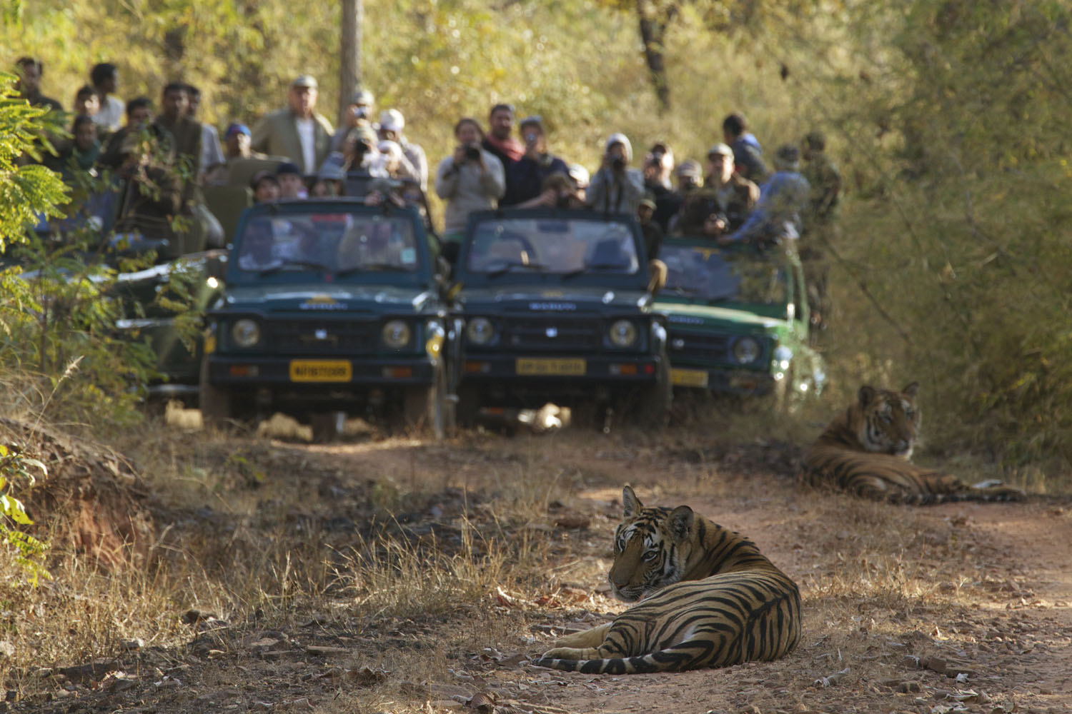 A crowd of tourists  photographing two tiger cubs sitting on a road inside Bandhavgarh National Park, India.