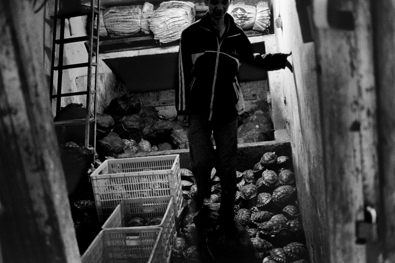 Guangzhou, China                                                                                             A man walks over a pile of live tortoises at the Qingping Medicine Market.