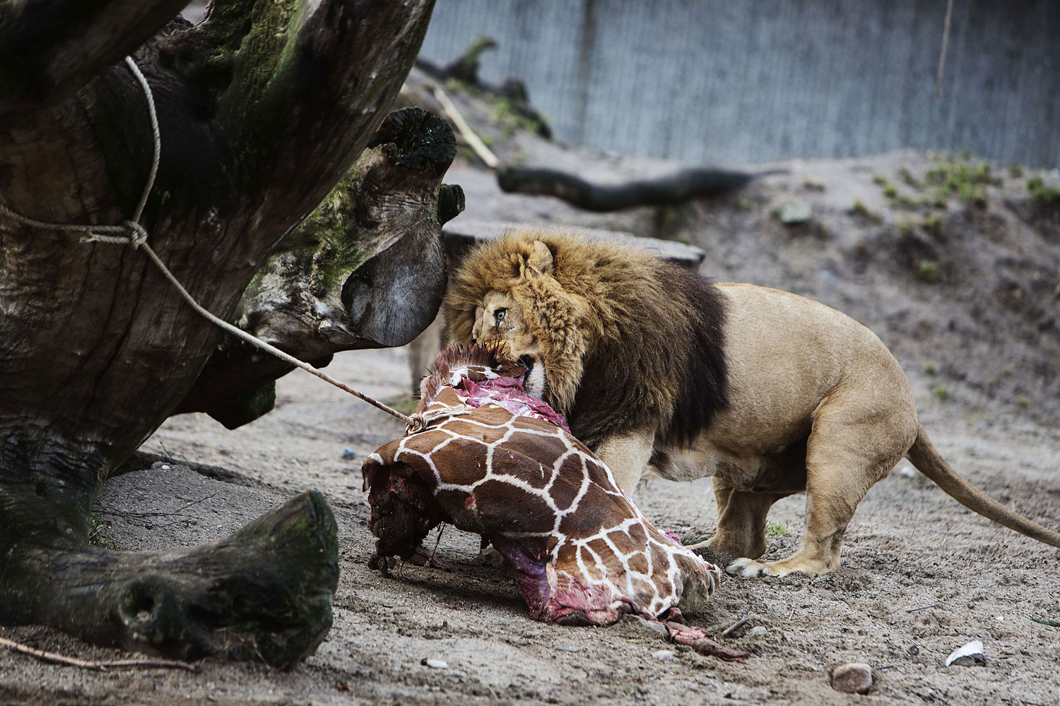 A lion in Copenhagen Zoo eats the remains of young giraffe on Feb. 9, 2014.