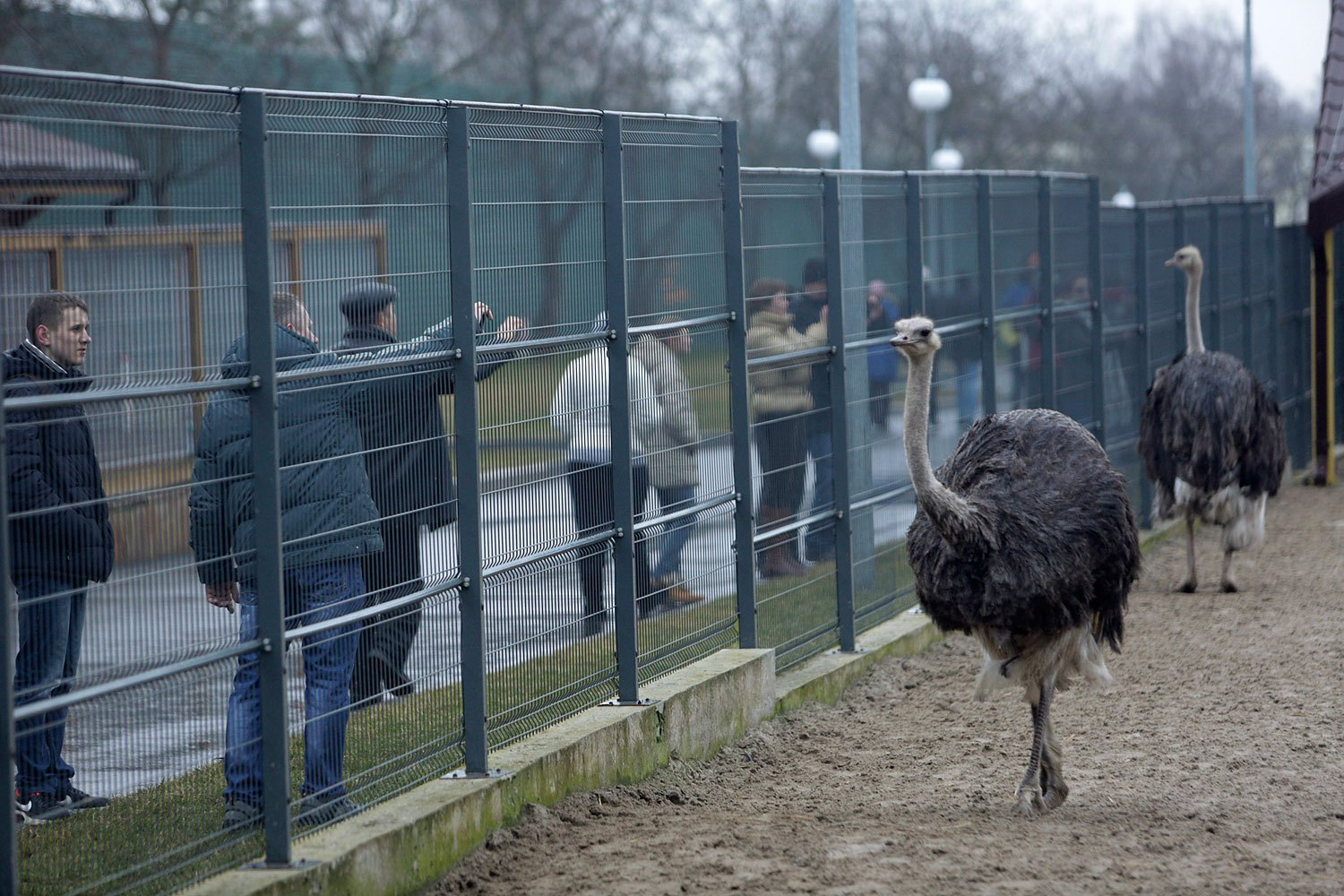 Anti-government protesters and journalists look at ostriches kept within an enclosure on the grounds of the Mezhyhirya residence of Ukraine's President Viktor Yanukovich.