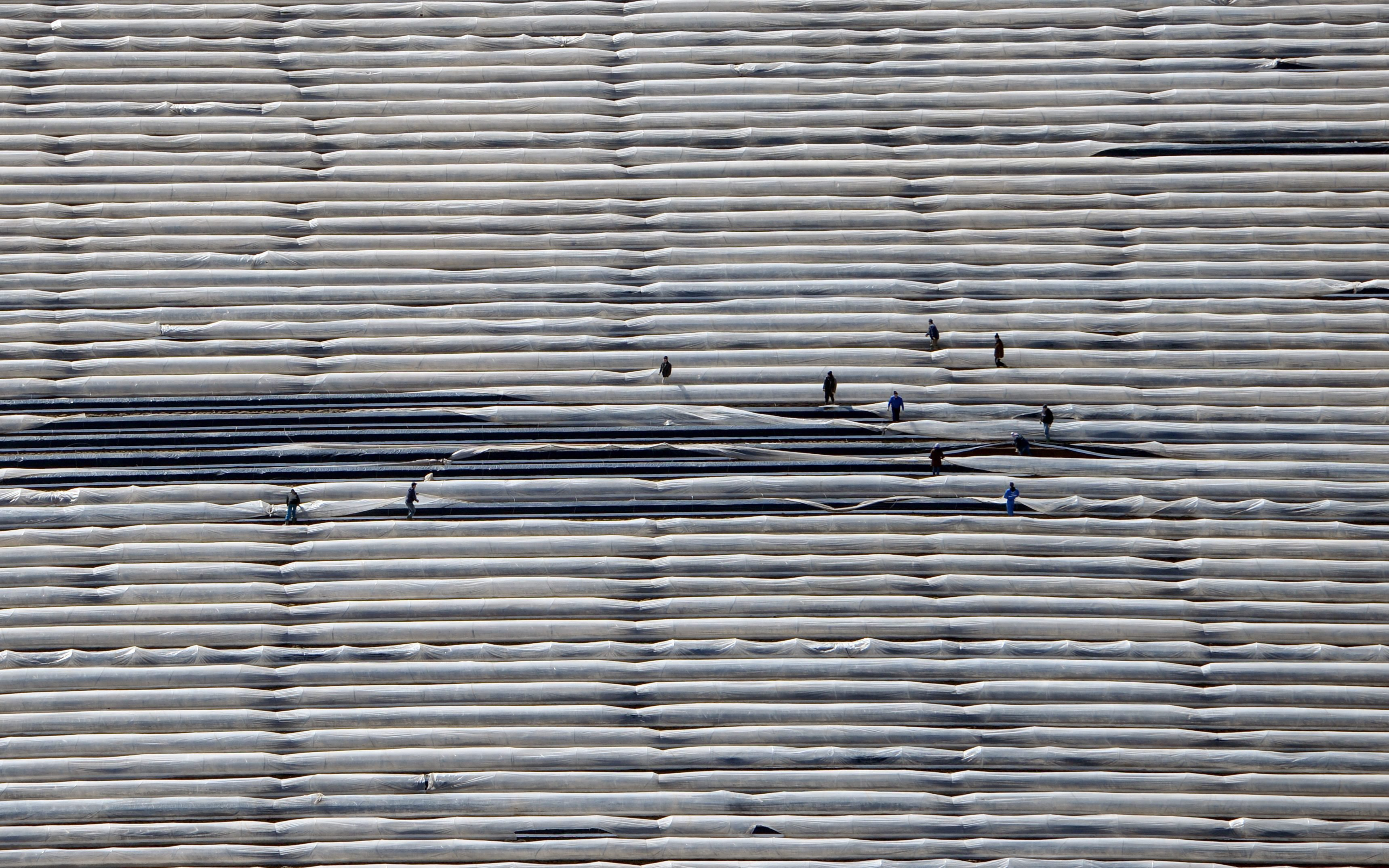 Mar. 20, 2014. An aerial view showing harvest workers uncovering rows of asparagus in a field at Kleistow asparagus farm near Beelitz,Germany.