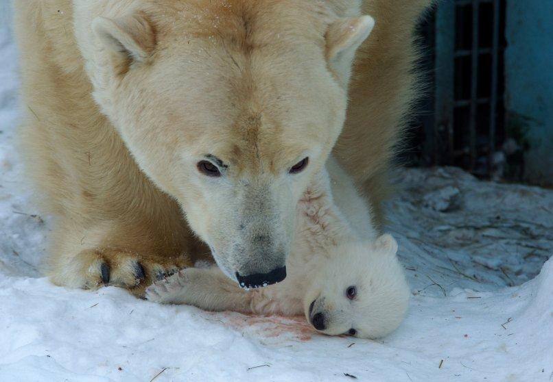 Russia Polar Bear Cub