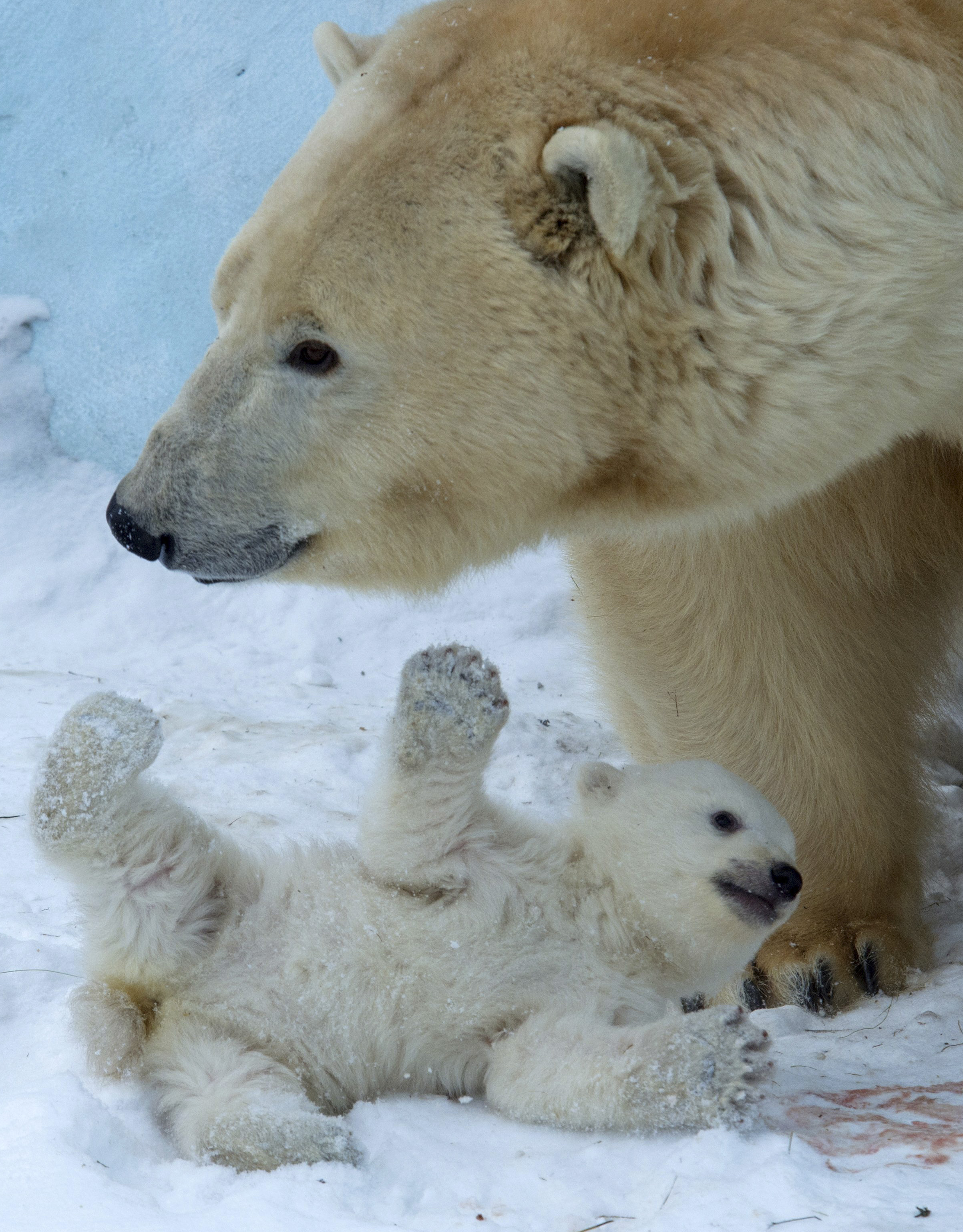Polar bear Gerda plays with her cub in the Zoo in Novosibirsk, about 2,800 kilometers (1,750 miles) east of Moscow, Russia, Friday, March 7, 2014.