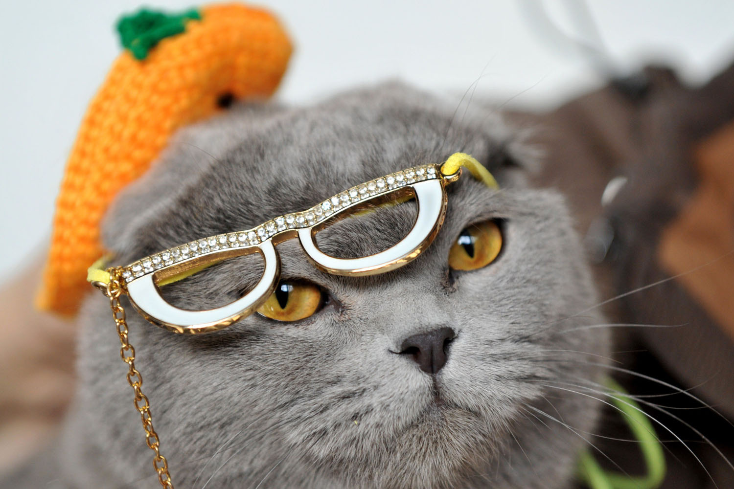 Mar. 23, 2013.  Wearing a hat and glasses a Scottish Fold cat looks on during a cat exhibition in Bishkek.