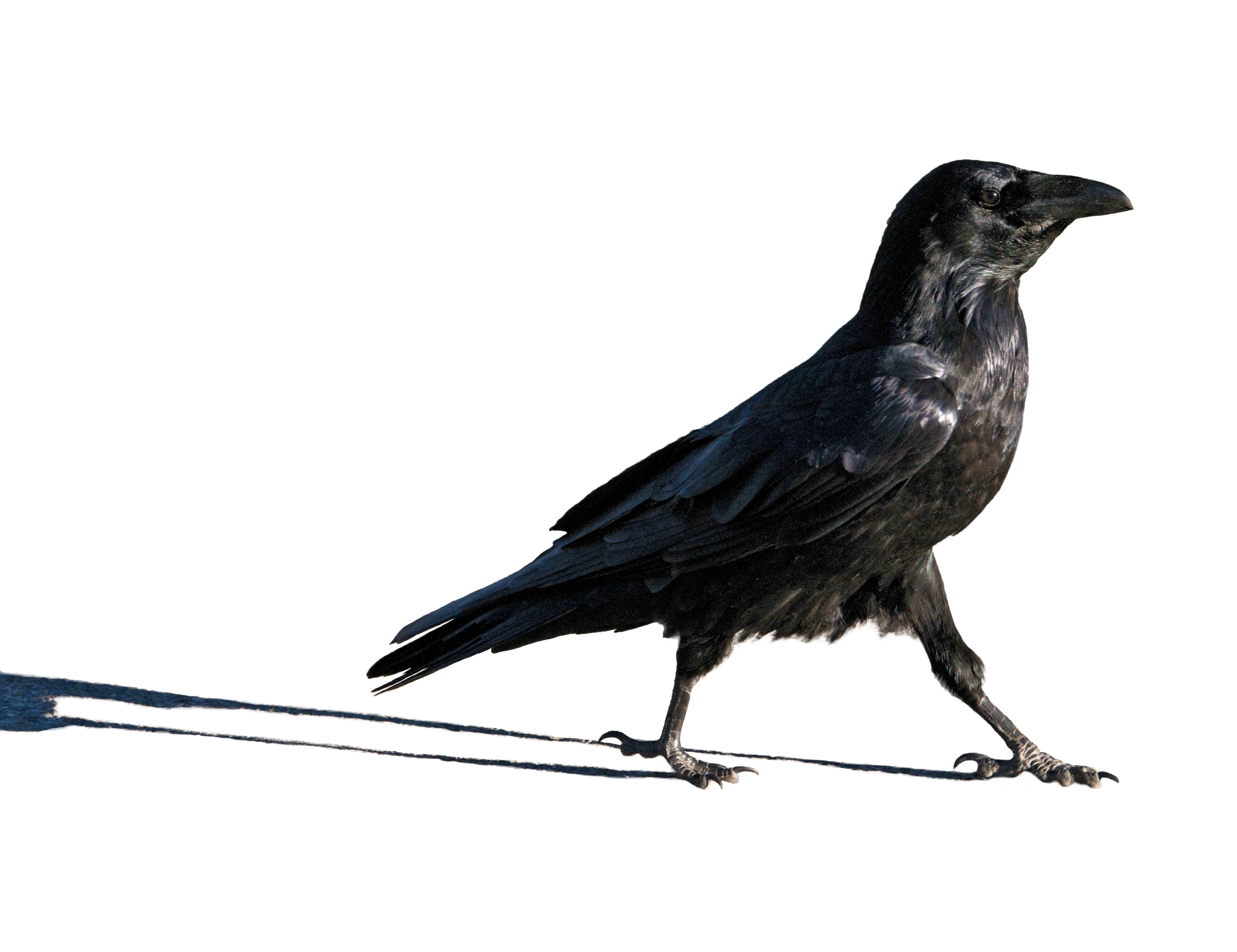 Stride on: this brainiac bird has a right to strut