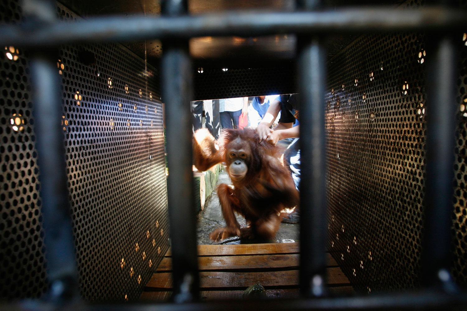 A female orangutan gets into a cage after being rescued in Pasuruan, East Java, on July 10, 2012.