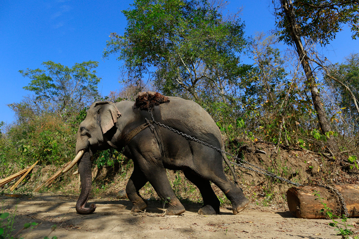 An elephant pulls a teak log in a logging camp in Pinlebu township, Sagaing, northern Burma, in this picture taken March 6, 2014.
