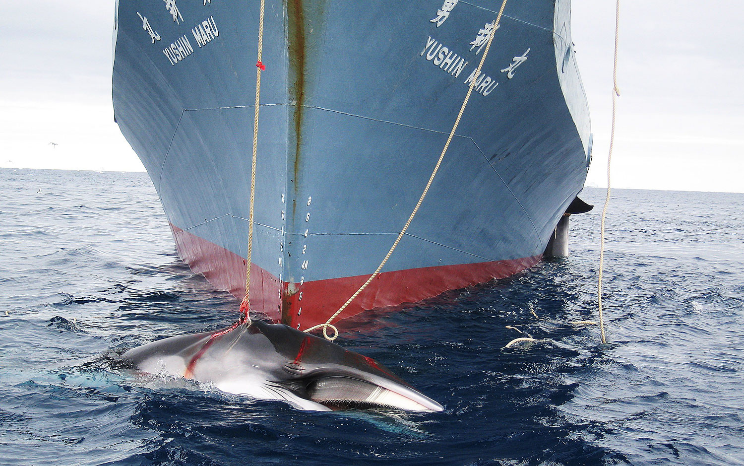 A photo released in 2008 shows a whale being dragged on board a Japanese ship after being harpooned in Antarctic waters