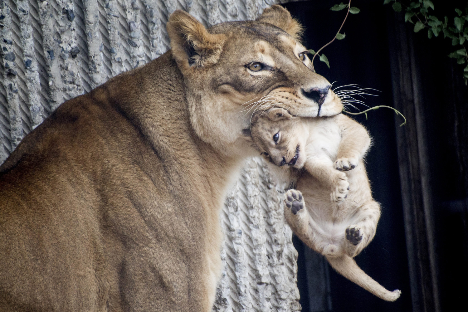 Mar. 25, 2014. Copenhagen Zoo is once again in the world news after it was reported that the zoo put down four healthy lions. It sparked a world wide outrage when the zoo put down the giraffe Marius on Feb. 9,  2014 and made a public autopsy.