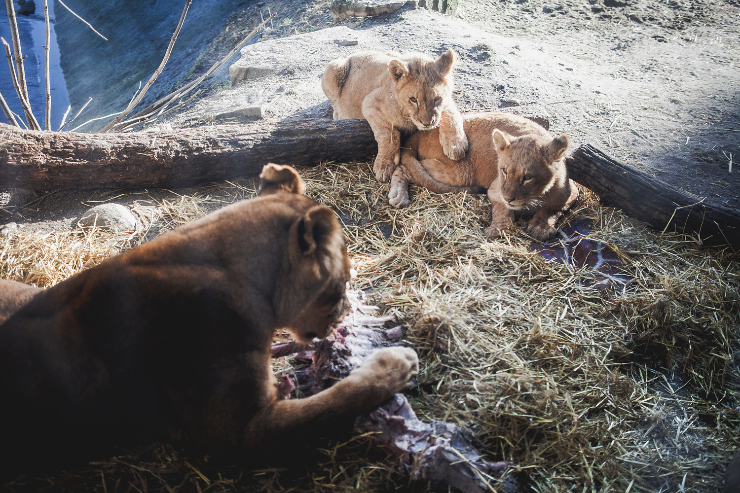 Copenhagen Zoo lions tuck into the remains of Marius the giraffe, Feb. 10, 2014.