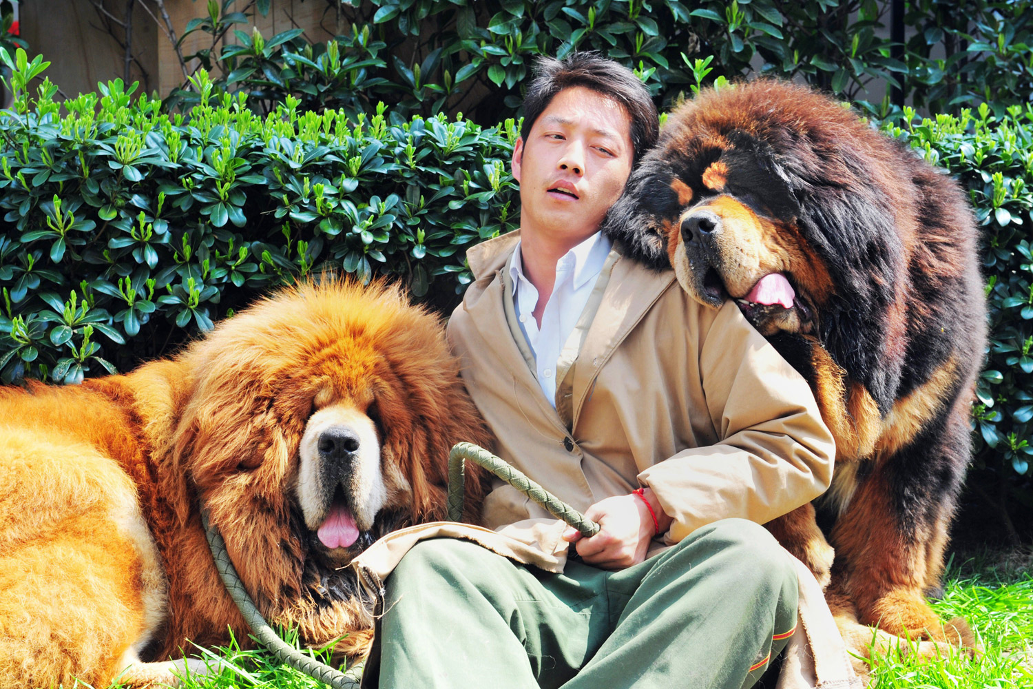 This picture taken on March 18, 2014 shows an unidentified man posing for a photo with two Tibetan mastiffs after they were sold at a 'luxury pet' fair in Hangzhou, in eastern China's Zhejiang province.