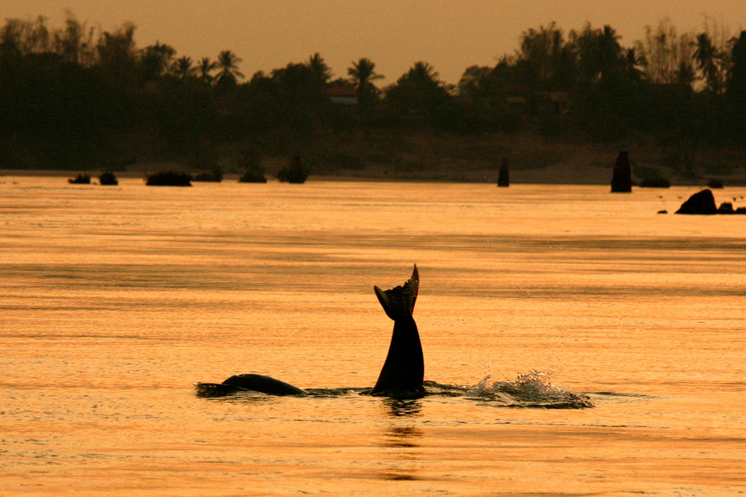An Irrawaddy dolphin, also known as the Mekong dolphin, swims in the river at the Kampi village in Kratie province, 230 km (143 miles) northeast of Cambodia